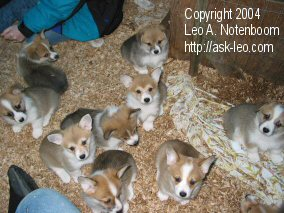 Branded Photo of Corgi Puppies